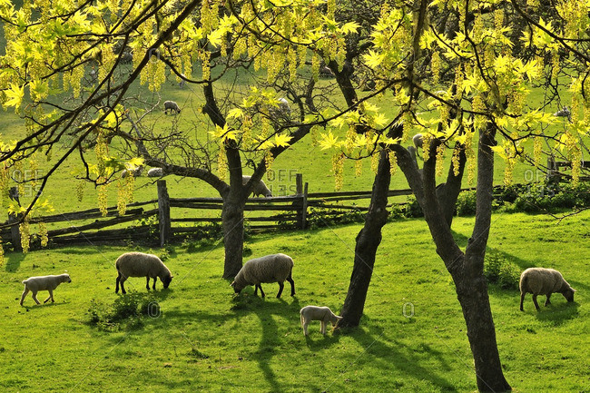 Sheep grazing in a field, the Ruckle Farm, Ruckle Provincial Park, Saltspring Island, British Columbia, Canada