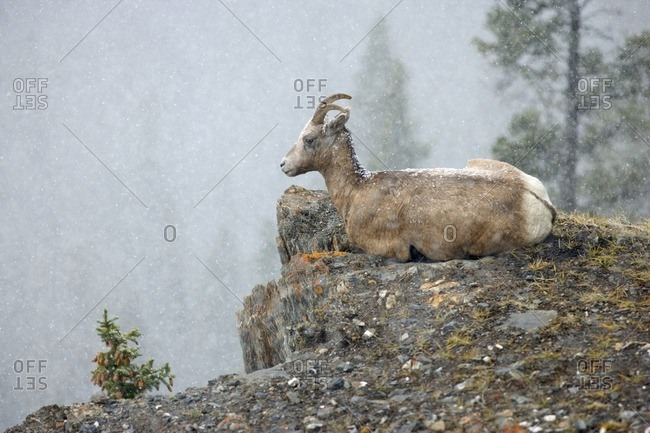 Bighorn sheep (Ovis canadensis) on cliff in snowstorm, Jasper National Park, Alberta, Canada