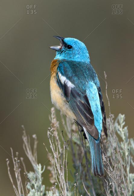 Lazuli Bunting (Passerina amoena) singing on sage brush in Columbia National Wildlife Refuge, Washington, USA
