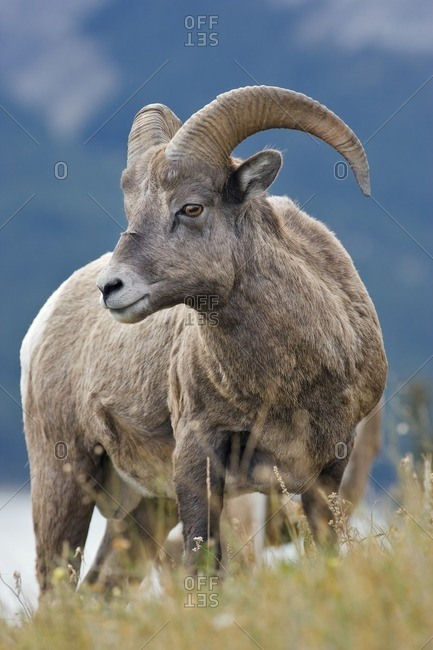 Young ram, Bighorn sheep (Ovis canadensis) at Windy Point, Kootenay Plains, Alberta, Canada