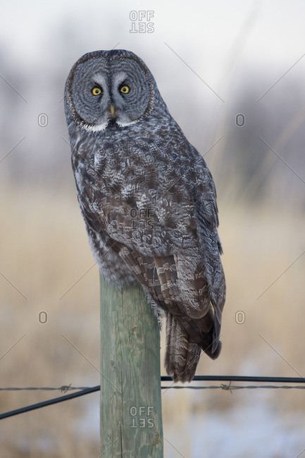 Great Gray Owl (Strix nebulosa), Water Valley, Alberta, Canada