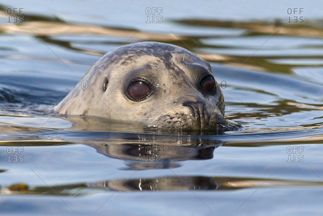 Harbor seal (Phoca vitulina) surfacing off Oak Bay, Victoria, Vancouver Island, British Columbia, Canada