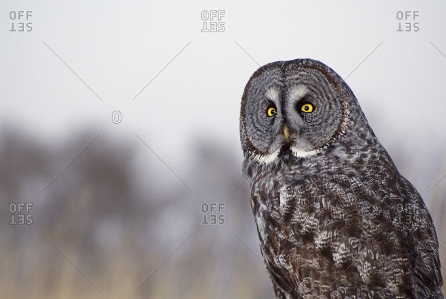 Great gray owl (Strix nebulosa), near Water Valley, Alberta, Canada