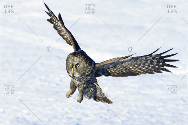 Hunting great gray owl (Strix nebulosa), boreal forest, northern Alberta, Canada