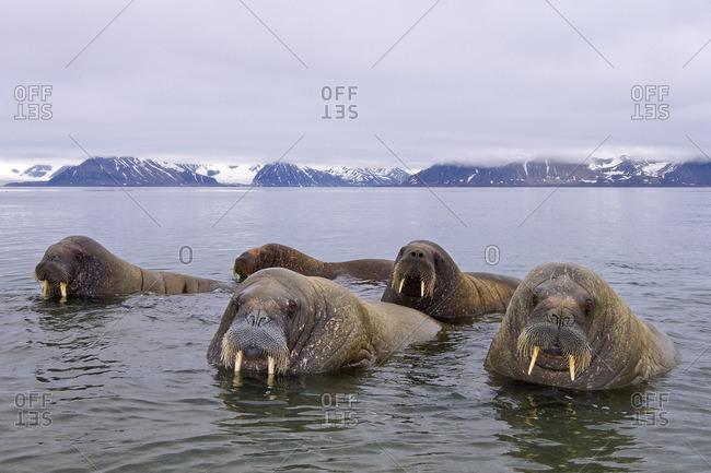 Adult male Atlantic walruses (Odobenus rosmarus rosmarus), Svalbard Archipelago, Arctic Norway