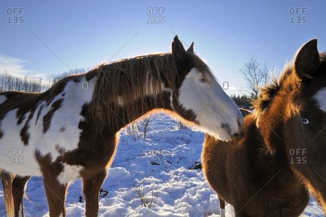 Horses in winter, the Rocking Horse Ranch, Cariboo Region, British Columbia, Canada,
