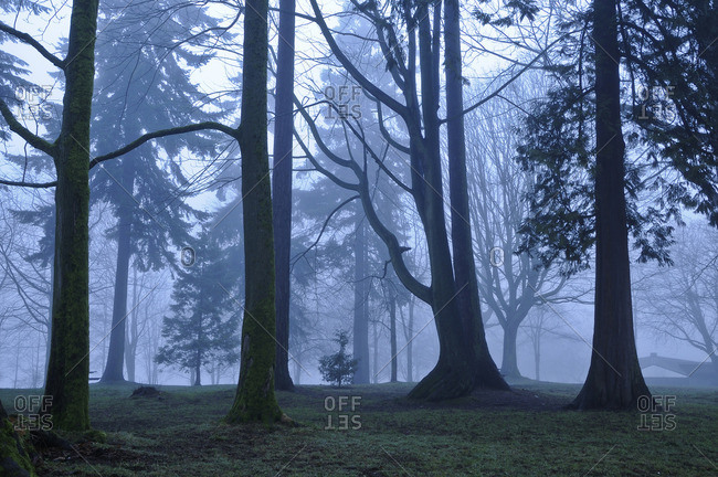 Trees in fog, Stanley Park, Vancouver, British Columbia, Canada