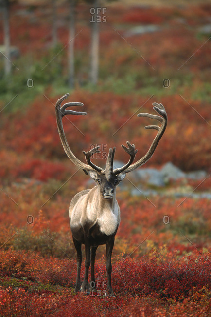 Barren-ground Caribou on autumn tundra, Rangifer tarandus groenlandicus. Near Whitefish Lake, NWT, Canada