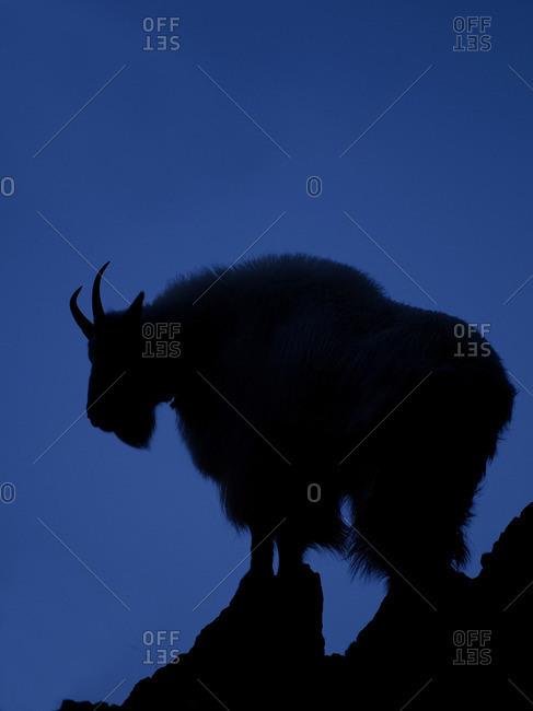 A Mountain Goat (Oreamnos Americanus) stands on rock, Penticton, Thompson Okanagan Region, British Columbia, Canada