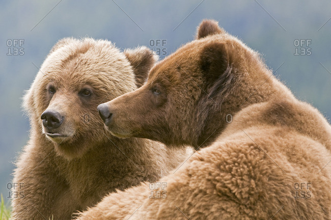 A male and female Grizzly (Ursus arctos horribilis) check their surroundings during mating season at Khutzeymateen Grizzly Bear Sanctuary, North of Prince Rupert,  British Columbia, Canada