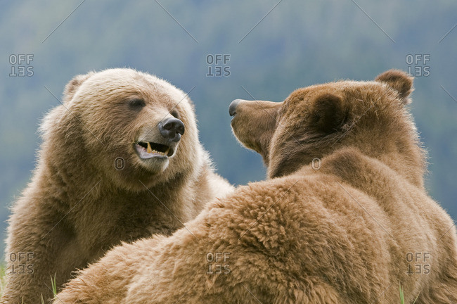 A male and female Grizzly (Ursus arctos horribilis) flirt with each other during the mating season at Khutzeymateen Grizzly Bear Sanctuary, North of Prince Rupert,  British Columbia, Canada