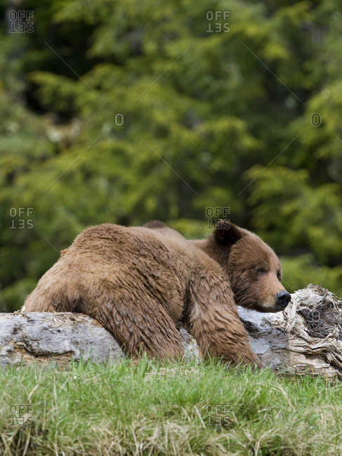 A male Grizzly Bear (Ursus arctos horribilis) rests on a log at Khutzeymateen Grizzly Bear Sanctuary, North of Prince Rupert, British Columbia, Canada