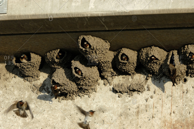 Cliff swallows (Petrochelidon pyrrhonota) looking out from mud-formed nests, South Dakota, USA