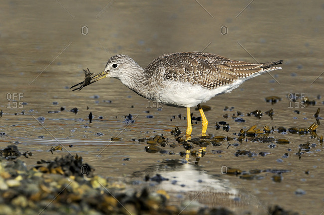 Greater Yellowlegs (Tringa melanoleuca) with small crab, near Victoria, Canada