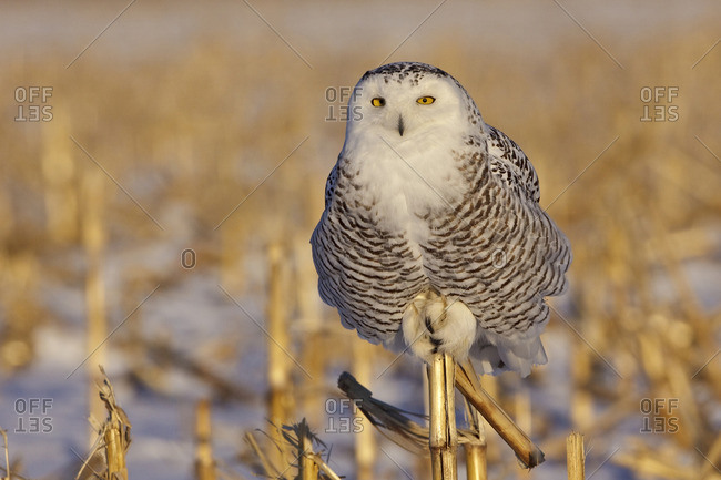 A young female snowy owl (Bubo scandiacus) hunting for rodents near Ottawa, Ontario, Canada