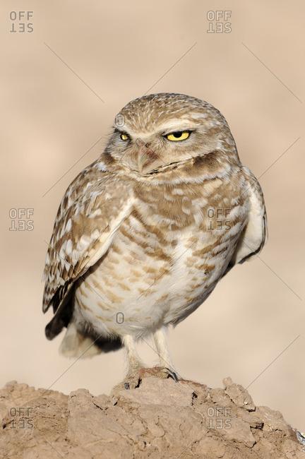 Burrowing Owl (Athene cunicularia) by nest at Salton Sea, California, USA