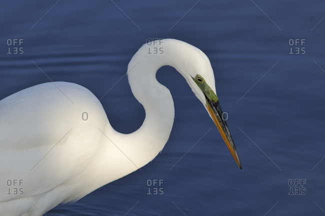 Great Egret (Ardea alba) fishing at Bolsa Chica Refuge California