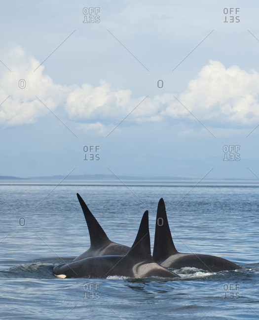 Southern resident orcas or Killer Whales, orcinus orca near Pender Island, BC, Canada