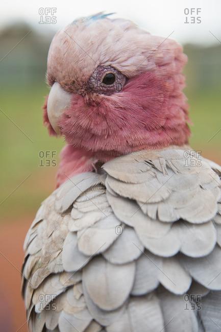 Close-up of galah bird
