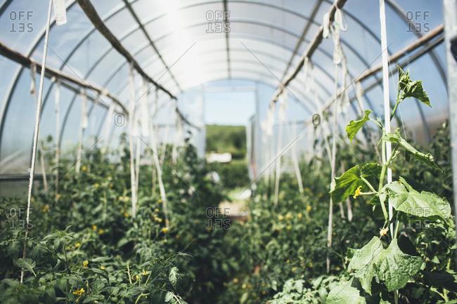 Vegetable plants growing in greenhouse