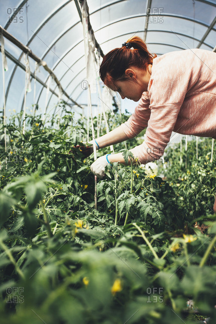 Woman working over vegetable plants in greenhouse