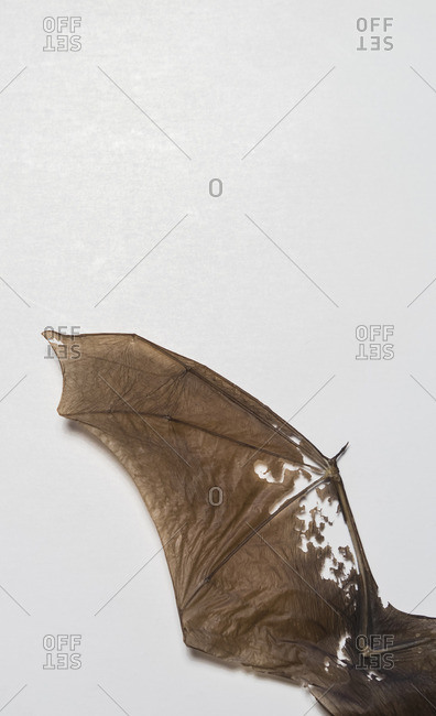 Directly above shot of fossil bat wing over white background