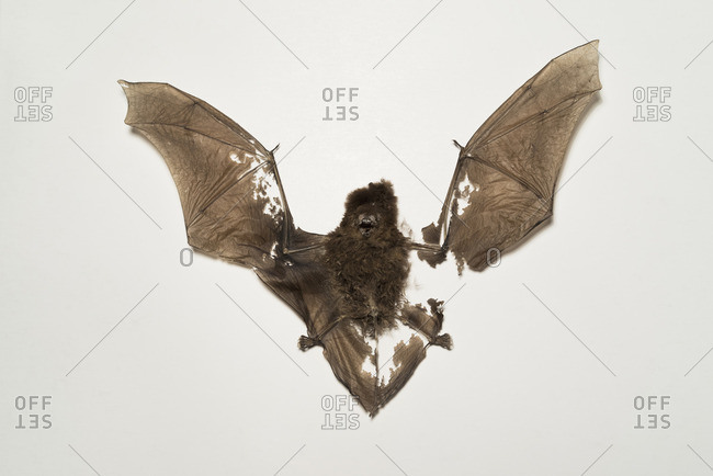 Close-up of bat fossil against white background