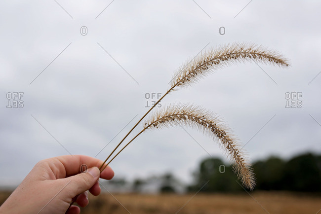 Child's hand holding grass seed head