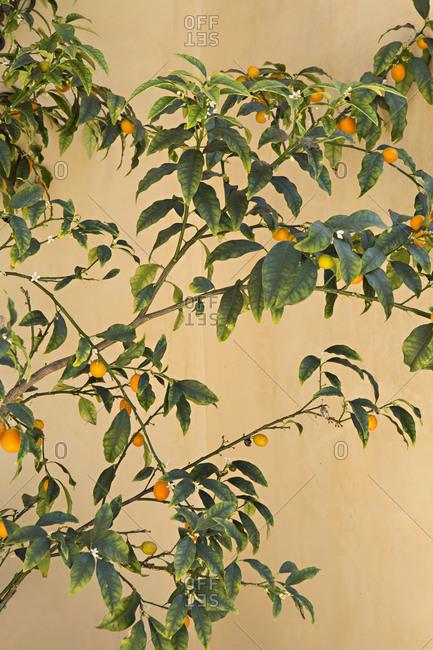 A cumquat tree with fruit