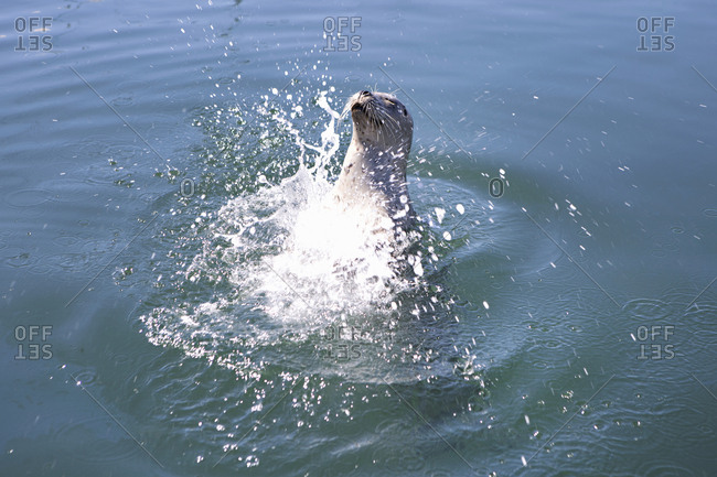 A sea lion splashing in sea