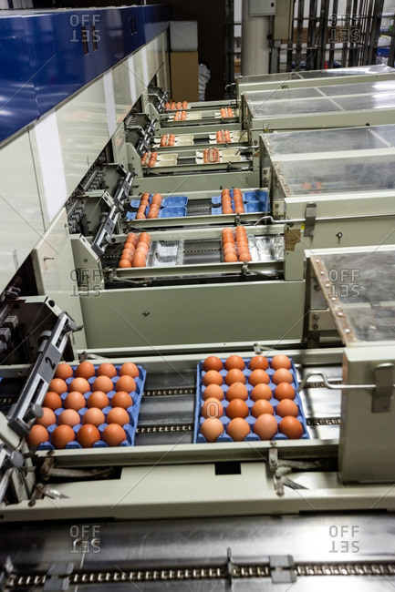 Eggs moving on the production line in factory
