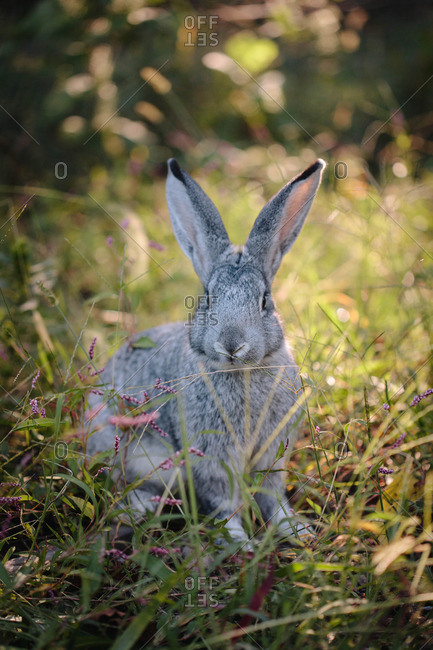 Portrait of a gray hare
