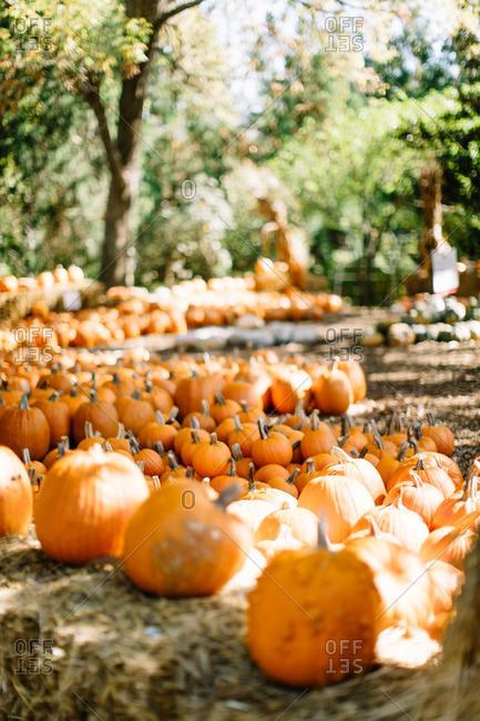 Abundance of orange pumpkins