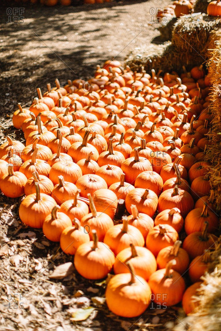 Orange pumpkins gathered on a farm