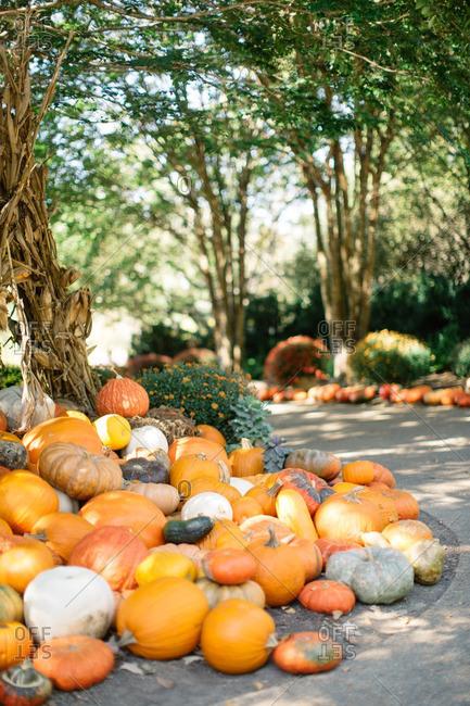 Variety of pumpkins on the ground by a cornstalk