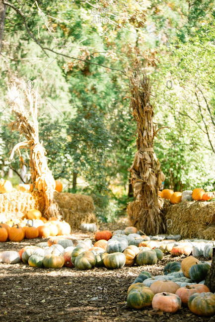 Variety of pumpkins by cornstalks on a farm