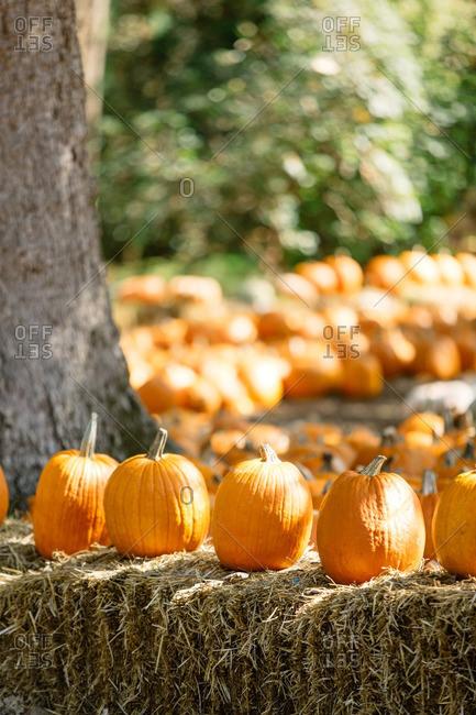 Orange pumpkins on a hay stack