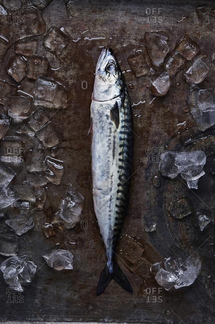 Fresh caught Mackerel on a metal tray of ice