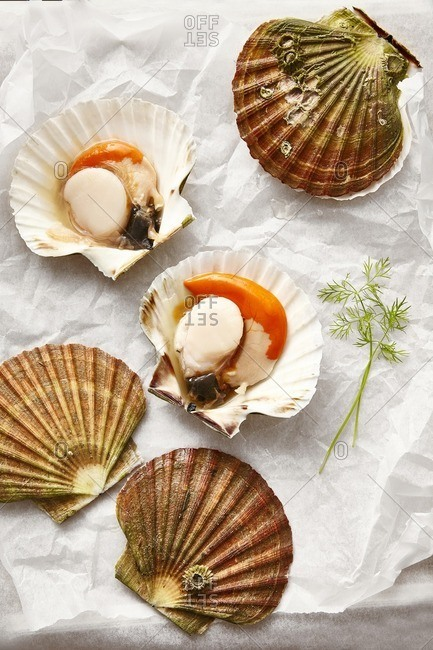 Colorful Diver Scallops opened on wax paper with fresh dill