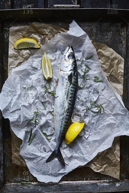 Fresh Mackerel lying on baking paper with rosemary and lemon garnishes