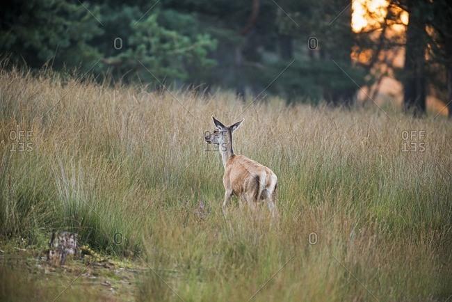 Female red deer walking away from camera in high grass in the Deelerwoud Nature Reserve, Veluwe, Gelderland, The Netherlands