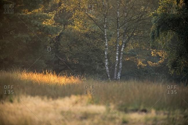 Birch tree lit by early morning sunlight in the Deelerwoud Nature Reserve, Veluwe, Gelderland, The Netherlands