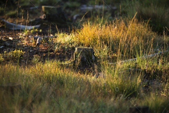 Chopped tree trunk between grasses in morning sunlight in the Deelerwoud Nature Reserve, Veluwe, Gelderland, The Netherlands