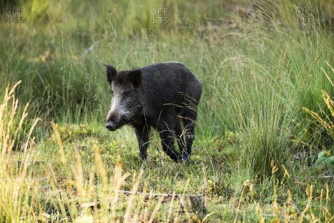 Wild boar walking in field in the Deelerwoud Nature Reserve, Veluwe, Gelderland, The Netherlands