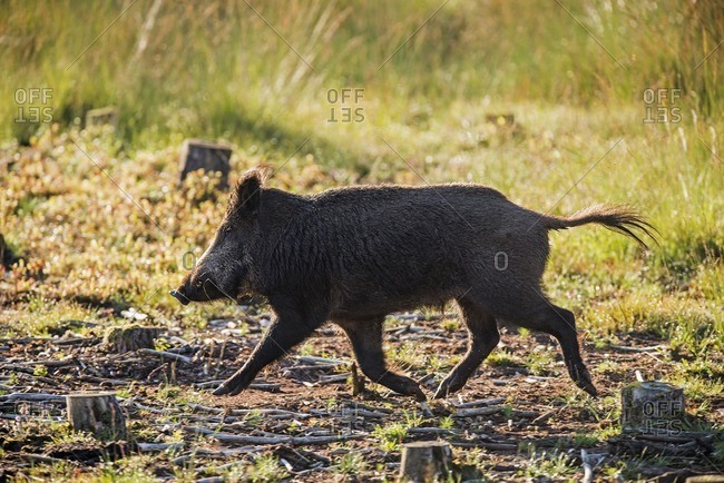 Side view of wild boar running in field in the Deelerwoud Nature Reserve, Veluwe, Gelderland, The Netherlands