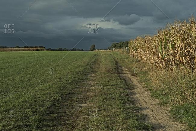 Tire track in farmland with corn field under dark sky, Achterhoek, Gelderland, The Netherlands