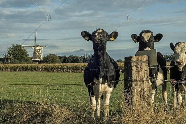 Three cows standing behind fence near post on farmland, Achterhoek, Gelderland, The Netherlands