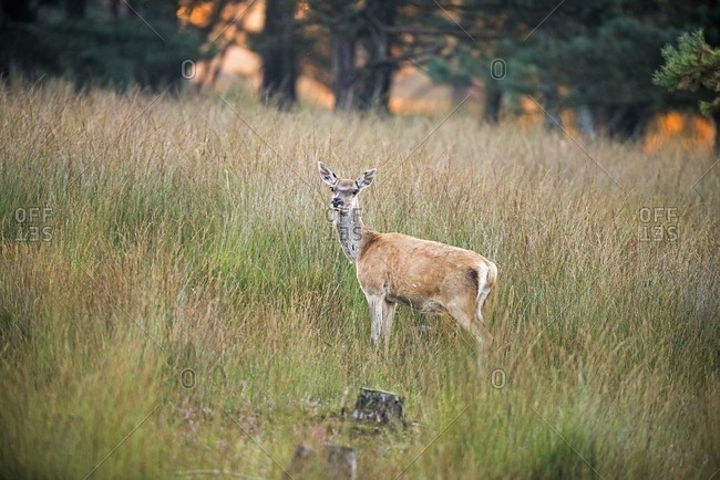 Alert female red deer standing in high grass at dawn in the Deelerwoud Nature Reserve, Veluwe, Gelderland, The Netherlands
