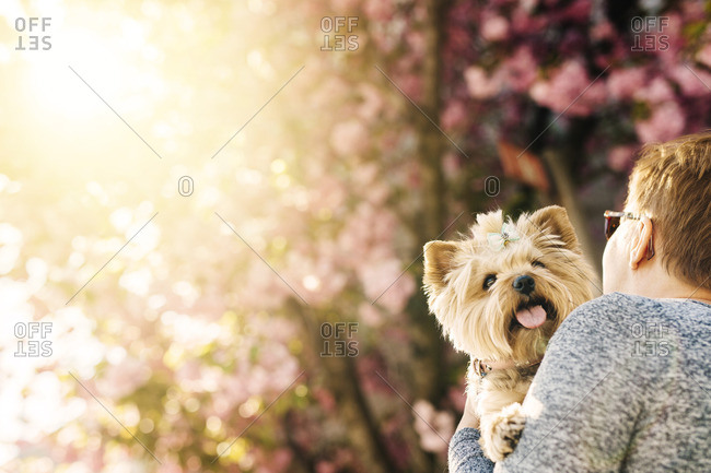 Woman with dog, looking at cherry tree in bloom