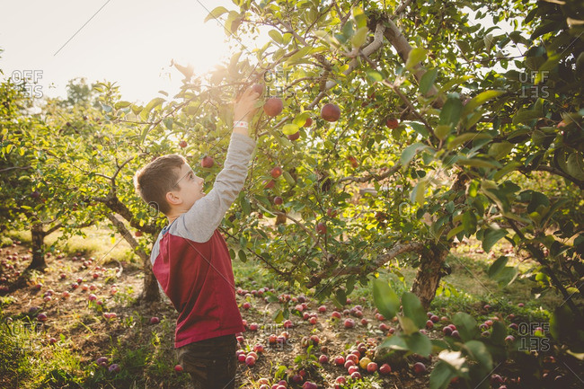 Boy reaching for apple from tree